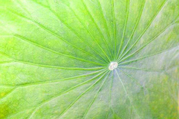 Abschluss oben des grünen lotosblattes oder der teichseerose verlässt beschaffenheitshintergrund
