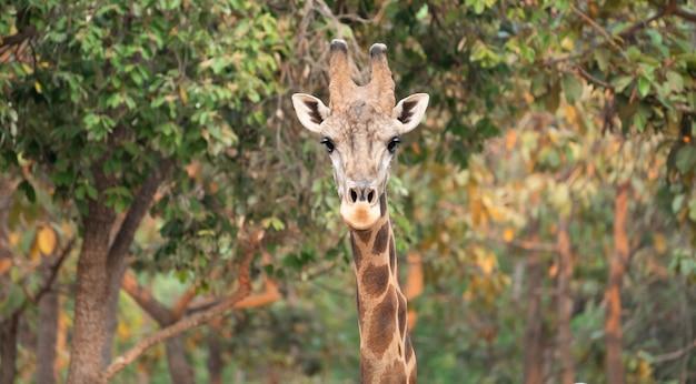 Abschluss oben eines giraffenkopfes