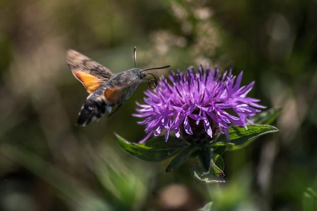Absorbierender nektar des kolibri-schmetterlinges einer blume