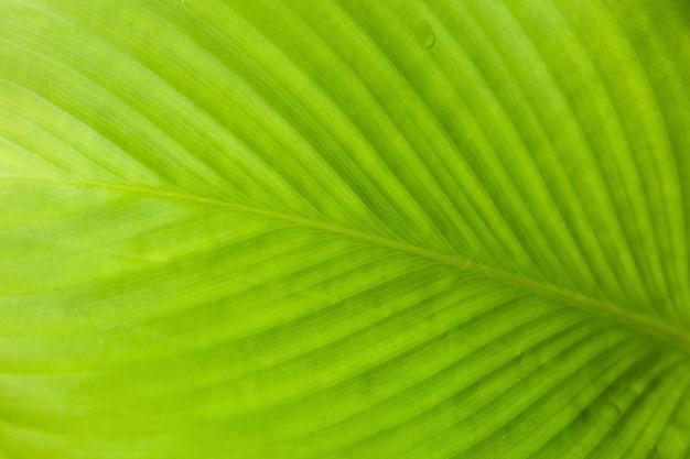 Abstrakte beschaffenheit des grünen blattes mit licht von hinten.
