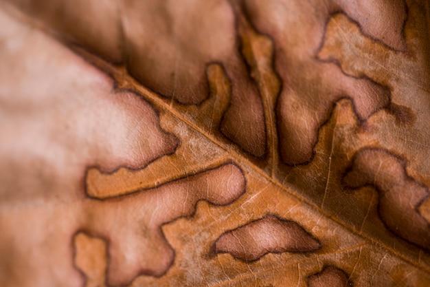 Abstrakte blattadern. brown-herbsturlaubabschluß oben. textur altes blatt. schönes helles buntes herbstblatt. makrofotografie
