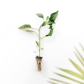 Abstrakte palme verlässt nahe anlage mit seiner wurzel, die über weißem hintergrund lokalisiert wird