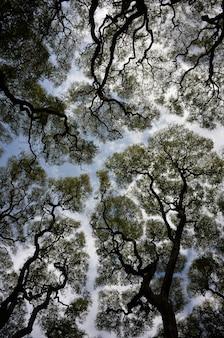 Abstrakte weitwinkelaufnahme von tipuana-tipu-bäumen gegen den himmel against