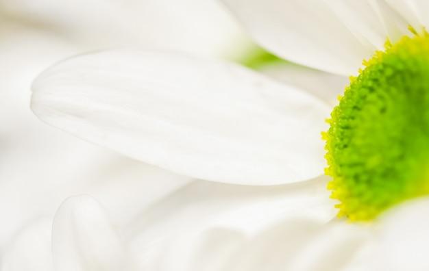 Abstrakter floraler hintergrund weiße chrysantheme blütenblätter makro blumen hintergrund