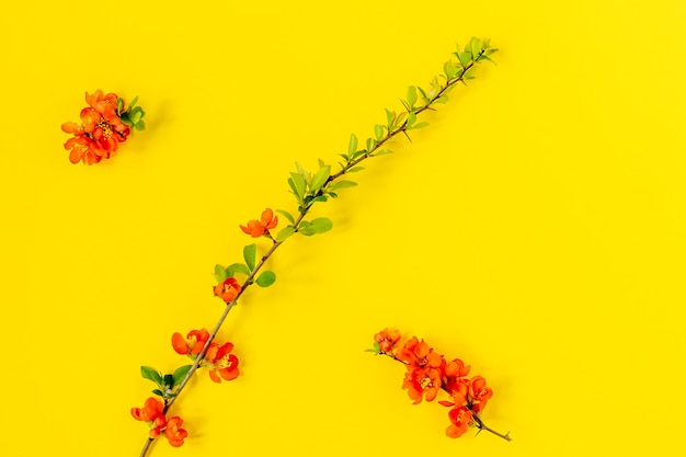 Abstrakter frühlingshintergrund. zweig der blühenden japanischen quitte auf gelbem grund. chaenomeles japonica. flache lage, ansicht von oben. frühlingsblumenzusammensetzung.
