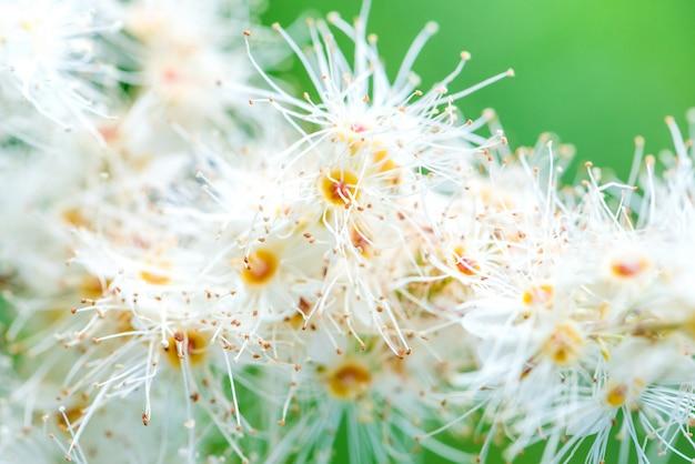 Abstrakter frühlingssaisonhintergrund mit weißen blumen, natürlicher hintergrund.