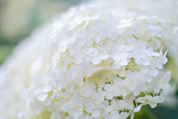 Abstrakter hintergrund der weißen hortensie