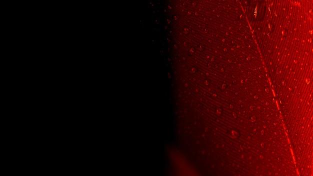 Abstrakter makroschuß der roten pfaufeder auf schwarzem hintergrund