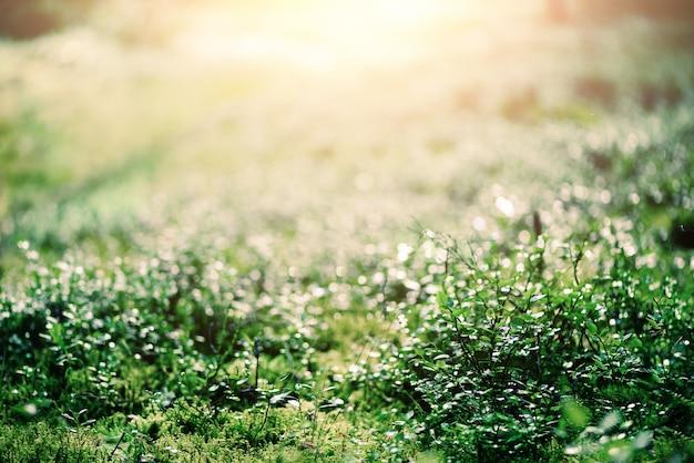Abstrakter natürlicher hintergrund mit hellem bokeh und leckeffekt. gras im wald. sommer-konzept. kopieren sie platz. banner. weicher fokus.