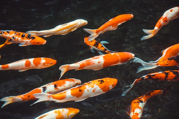 Abstrakter schwimmen koi karpfen fischt japaner