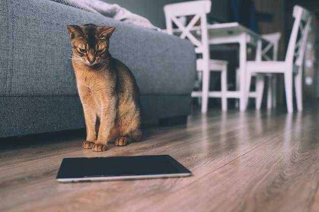 Abyssinische katze, die am tablettenschirm aufpasst