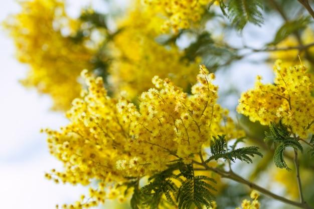 Acacia dealbata im frühjahr