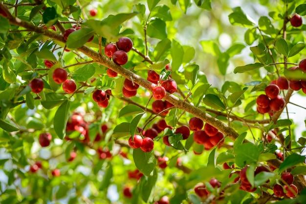 Acerolabaum mit vielen reifen früchten.