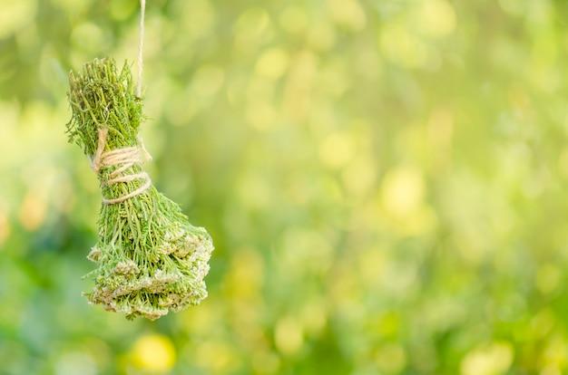Achillea millefolium oder schafgarbe pflanze