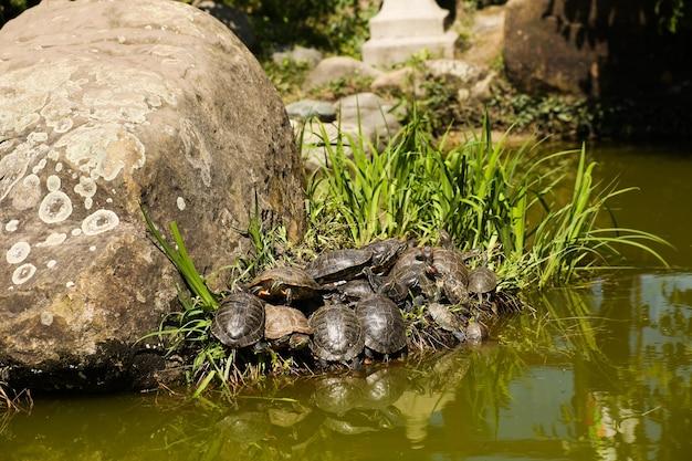 Acht schildkröten in verschiedenen sonnenpositionen auf einem braunen felsen mit rosa seerosen und grünen pflanzen im hintergrund