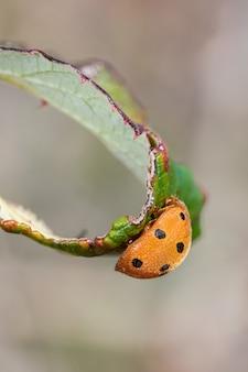 Adalia decempunctata. käfer in seiner natürlichen umgebung.