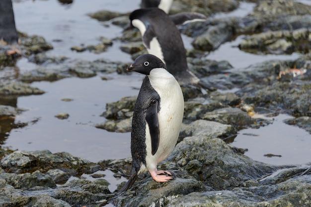 Adeliepinguin, der am strand in der antarktis steht