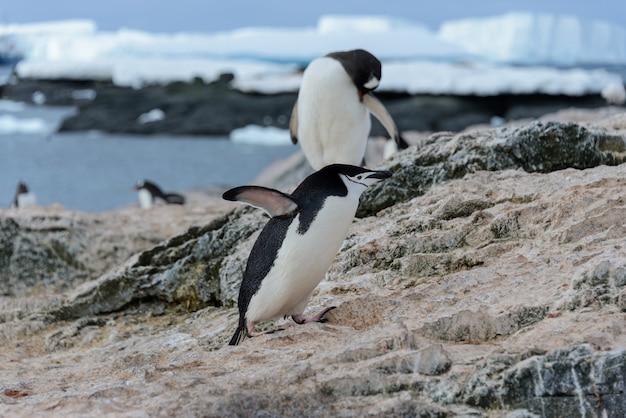 Adeliepinguin, der auf strand in der antarktis geht