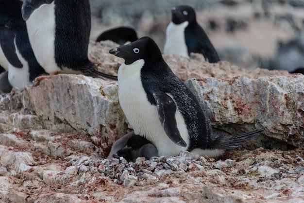 Adeliepinguin mit küken im nest in der antarktis
