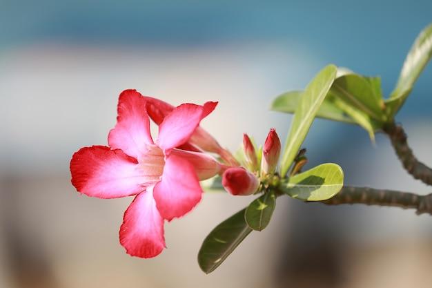 Adenium obesum oder wüstenrose blühen im garten mit grünem blatt.