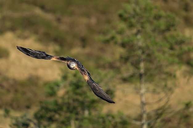 Adler am himmel fliegt mit offenen flügeln
