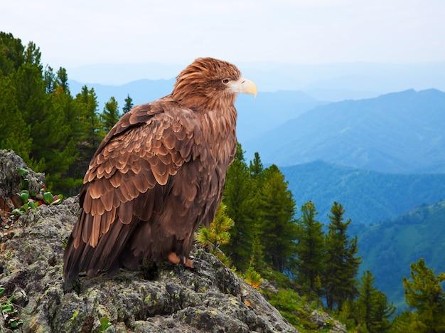 Adler auf felsen