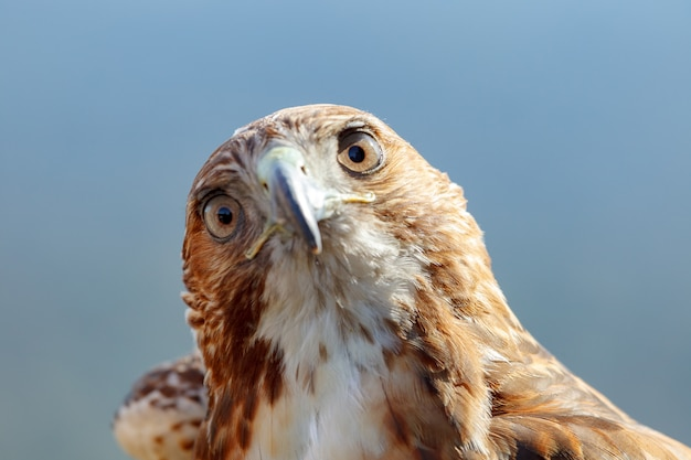 Adler des roten schwanzes (buteo jamaicensis)