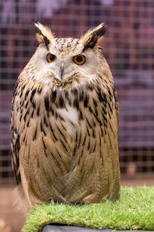 Adler eule