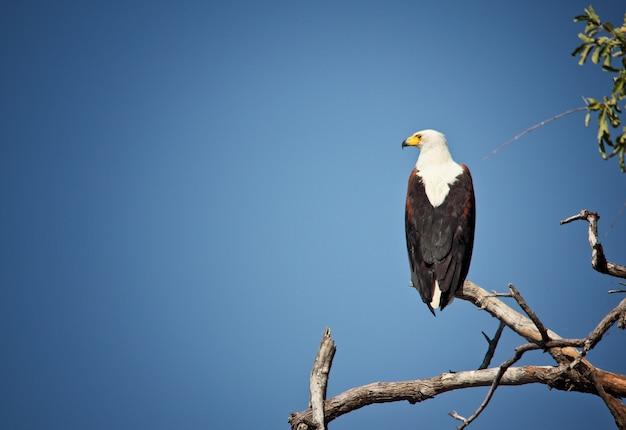 Adler fischen