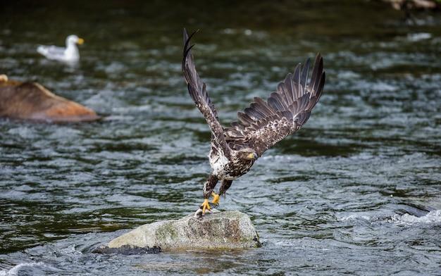 Adler fliegt aus stein mit beute in den krallen.