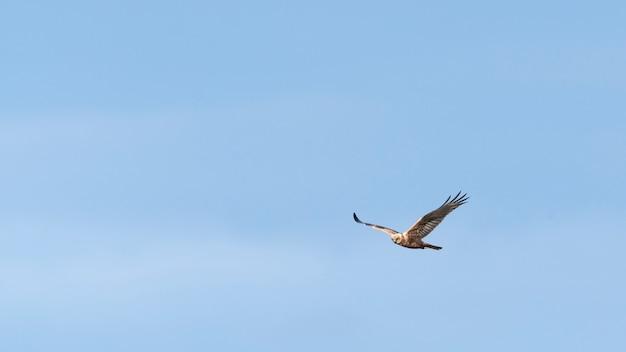 Adler fliegt in blauen himmel