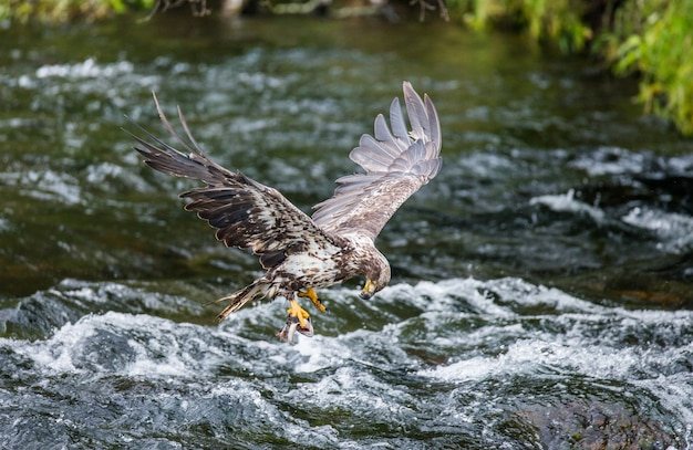 Adler fliegt mit beute in seinen krallen.