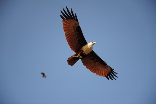 Adler fliegt und trägt fisch in seiner klaue