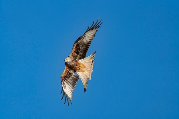Adler im blauen himmel fliegt mit offenen flügeln