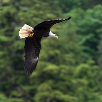 Adler im flug, regionaler bezirk skeena-königin charlotte, haida gwaii, graham island, britisches colum