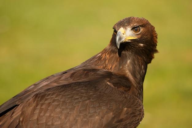 Adler in ruhe mit gedrehtem hals