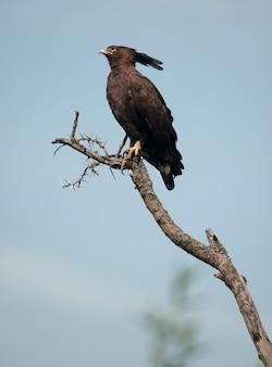 Adler mit langem haube