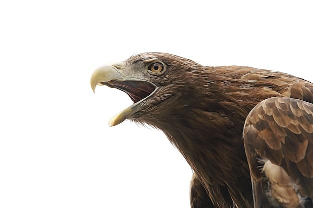 Adler mit offenem schnabel isoliert auf weißem hintergrund. raubvogel. foto in hoher qualität