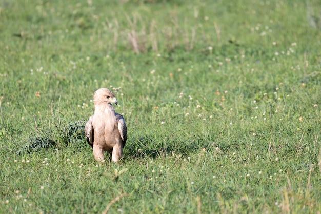 Adler mitten im grasland auf einer wiese