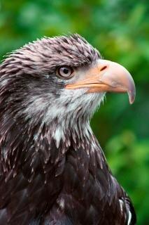 Adler-profil