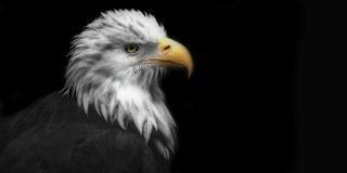 Adler, vogel
