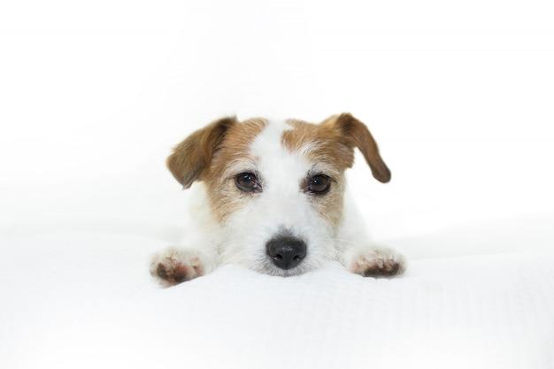 Adorable jack russell-hund, der auf bett isoliert stillsteht