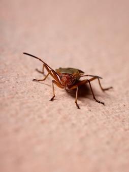 Adult cotton stainer bug der gattung dysdercus in der wand