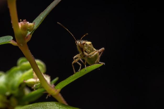 Adult scentless plant bug der familie rhopalidae