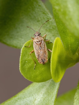 Adult seed bug der unterfamilie orsillinae auf einer portulakpflanze der art portulaca oleracea