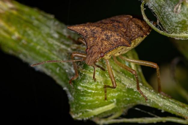 Adult stink bug der familie pentatomidae