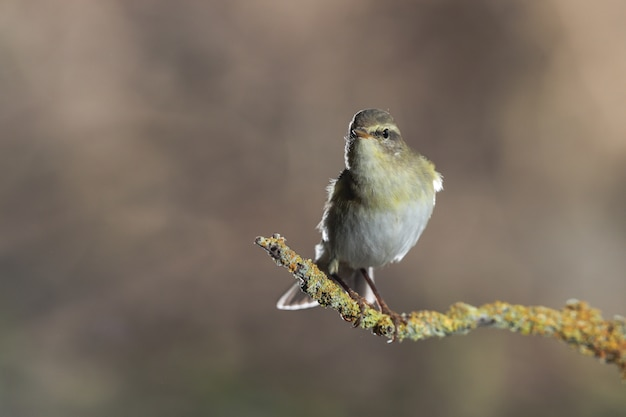 Adult willow warbler phylloscopus trochilus, malta, mittelmeer