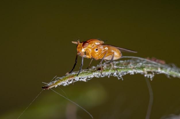 Adulte acalyptratfliege der zoosubsection acalyptratae