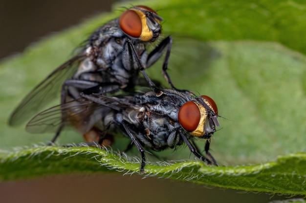 Adulte fleischfliegen der familie sarcophagidae kopulieren
