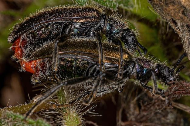 Adulte langgelenkkäfer der art lagria villosa kopplung